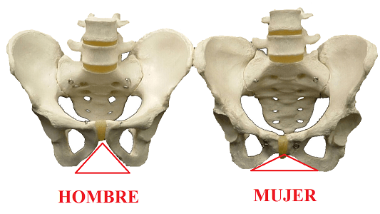 Diferencia del pelvis de hombre y mujer